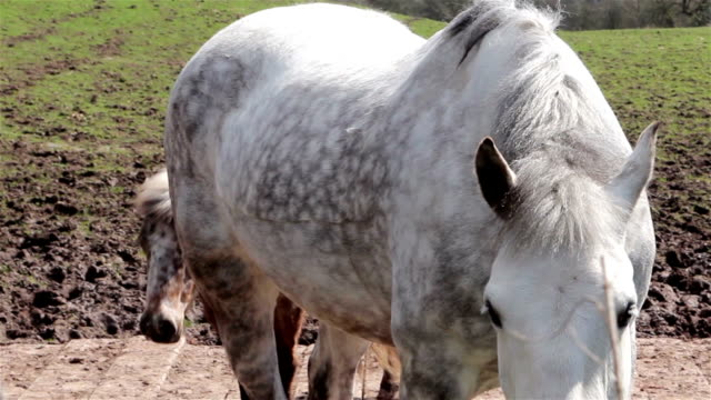 close-up bianco cavallo, dietro un look pollo bambino in camera - stallone video stock e b–roll