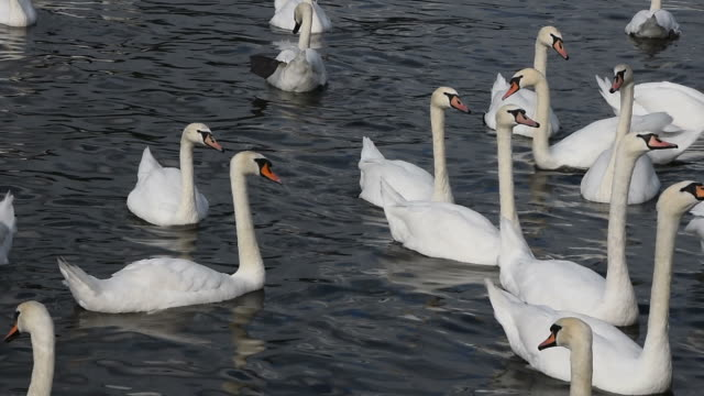 Close up white swans swim and row in water video
