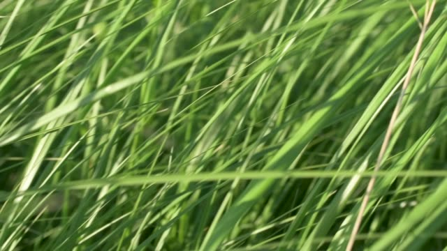 Close Up Wind Blowing Native Prairie Grasses Slow Motion video