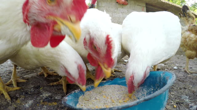 Close up with chickens eating grains at the countryside video