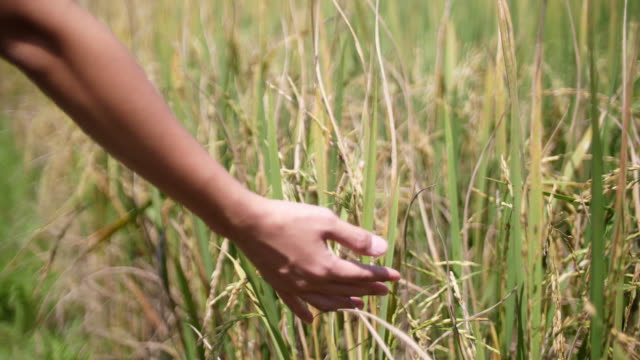SLO MO, Close up woman hand stroking and caressing ripe rice plant woman hand stroking and caressing ripe rice plant, 4K rice cereal plant stock videos & royalty-free footage