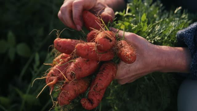 vídeos de stock e filmes b-roll de close up woman's hands cleaning dirt from small carrots - agricultora