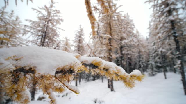 närbild av yellow pine tree på snön falla - pine forest sweden bildbanksvideor och videomaterial från bakom kulisserna