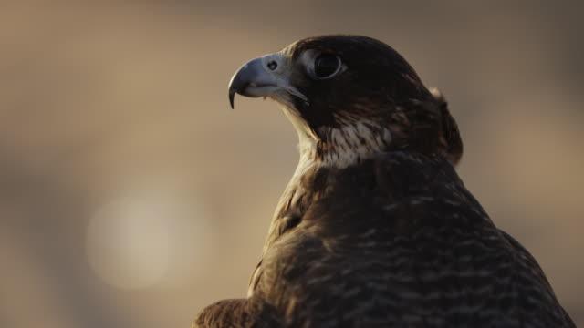 nära vy över en falk i öknen - djurkroppsdel bildbanksvideor och videomaterial från bakom kulisserna