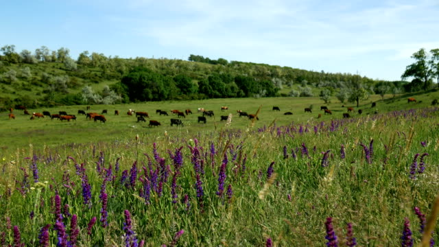 Close view of a herd of cows grazing. Nature farm landscape with green grass, beautiful flowers and blue clouds. video