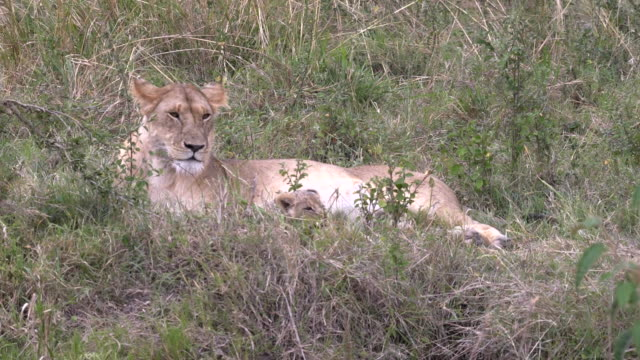 close view of a lioness and cub resting at masai mara