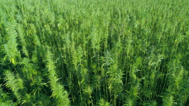 Close view of beautiful green hemp field in the summer Aerial: Large Hemp Marijuana Field Drone Fly-Over hashish stock videos & royalty-free footage
