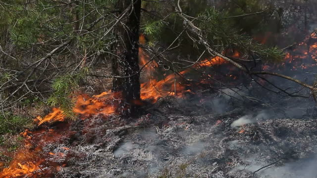 Close view of forest ground fire under pine tree video