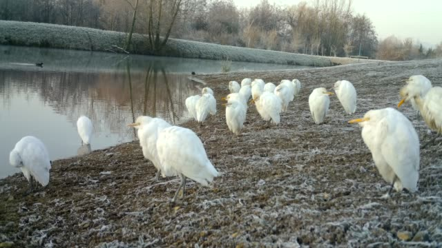 Close View of White Birds (Western Cattle Egret - Bubulcus Ibis) close to a Lake