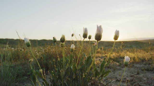 Closed White Desert Daisies Sway Gently in the High Desert at Sunset