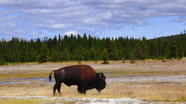 Closely to film a moving buffalo in Yellow Stone Park. video