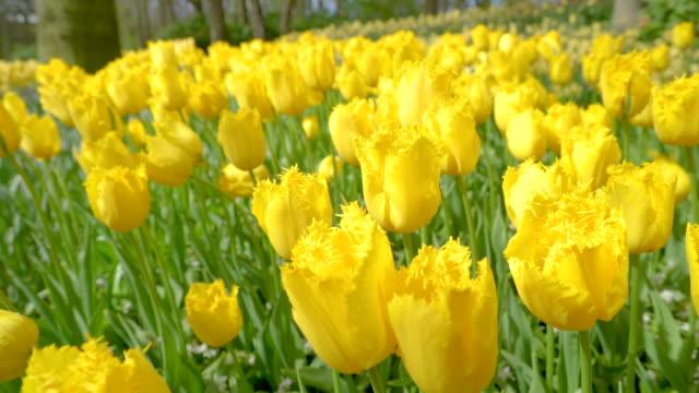 よく咲く黄色いチューリップの見る - 花壇点の映像素材/bロール