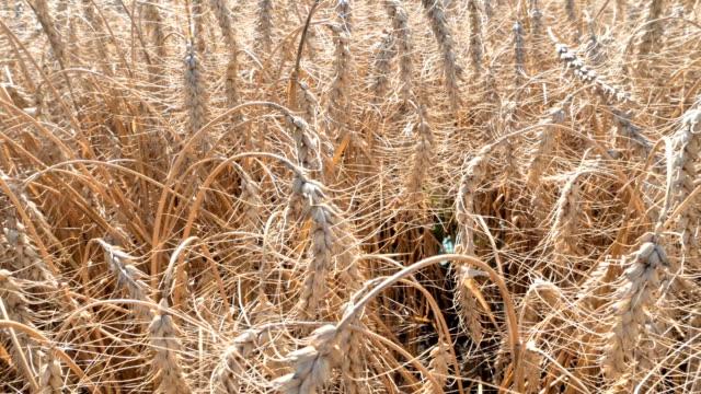 野原の茶色のリードの草を詳しく見る ビデオ
