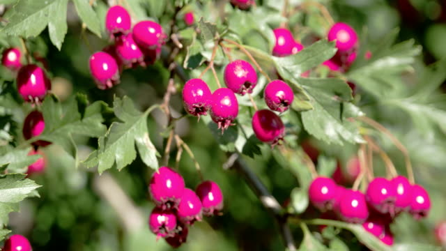 Closer look of the shiny red hawthorn fruits video