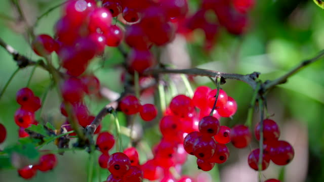 Closer look of the shiny redcurrant fruit video