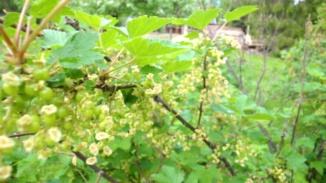 closer look of the stems and leaves of the red currant plant - ribes rosso video stock e b–roll