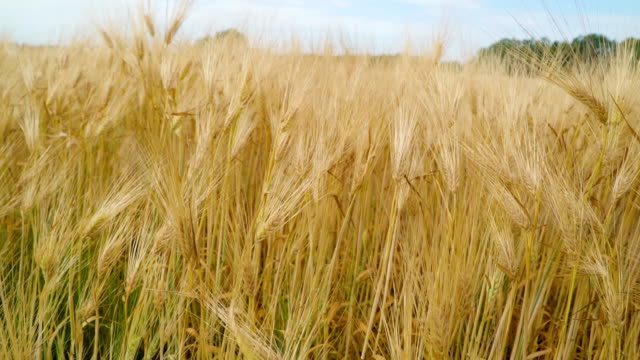Closer look of the thin stems of the barley grains Closer look of the thin stems of the barley grains plants on the farm field on a sunny day rice cereal plant stock videos & royalty-free footage