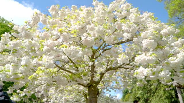 närmare titt av vit blomma träd i parken - keukenhof bildbanksvideor och videomaterial från bakom kulisserna