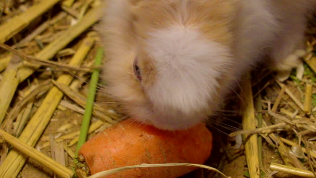 Closer look of the white rabbit while eating a carrot Closer look of the white rabbit while eating a carrot inside a pen with lots of hays in the farm coonhound stock videos & royalty-free footage