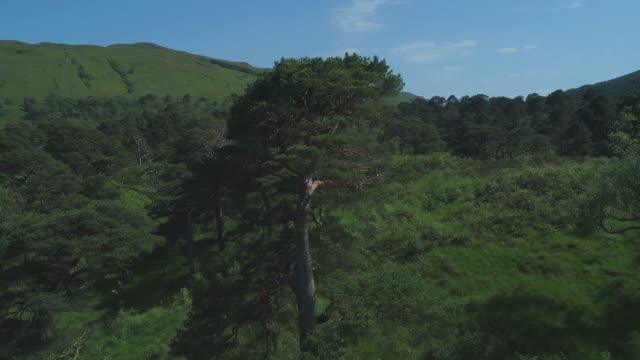 närbildsantenhet närmar sig och cirklar sedan runt en enda skotsk tall i den gamla skogen coille coire chuilc - scots pine (pinus silvestris) - nära tyndrum i de skotska högländerna vid stranden av cononish river - fur bildbanksvideor och videomaterial från bakom kulisserna