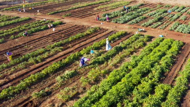 Close-up aerial fly over view of people working on a community vegetable garden project, Zimbabwe