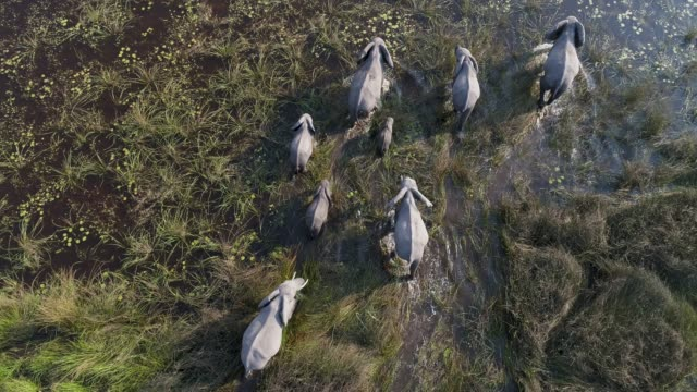 Close-up aerial view of a breeding herd of elephants walking in the marshy grasslands of the Okavango Delta, Botswana video