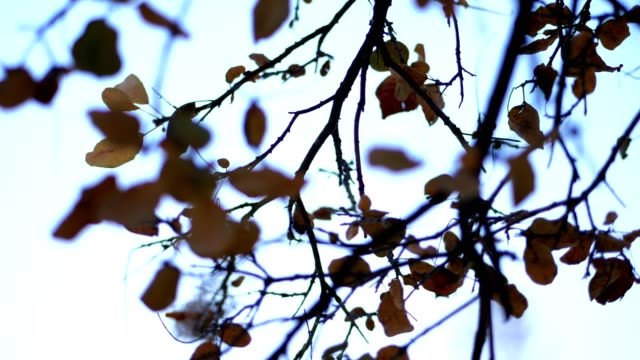 close-up, against the blue sky, a tree branches with yellowed, dry leaves. late fall