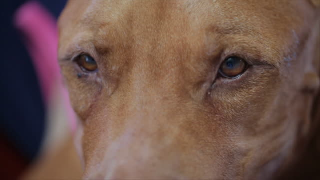 Close-up American Pit Bull Terrier video