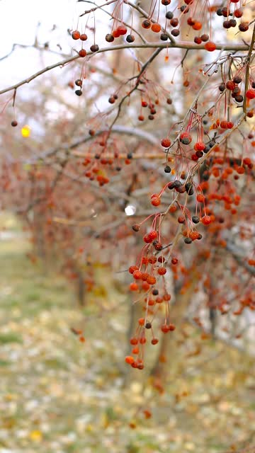 Closeup autumn red berries of crab apples, Malus Baccata, on shrubbery trees along sidewalk by road