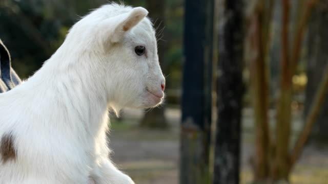 vídeos y material grabado en eventos de stock de close-up bebé cabra balando y conseguir cabeza rayada - peludo