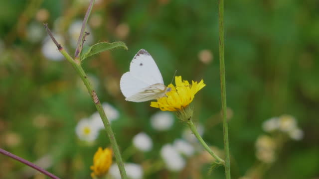 Closeup Beautiful Flower Fresh Spring Morning on Nature and Fluttering White Butterfly on Soft Green Background, Macro. Slow Motion. Wild Flowers and White Butterfly in Meadow Nature Summer Close Up.