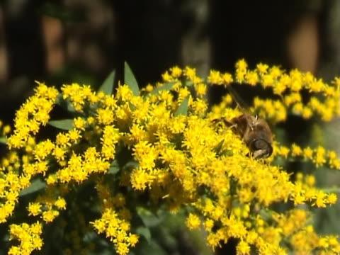 vídeos y material grabado en eventos de stock de primer plano de la flor y abeja - insecto himenóptero