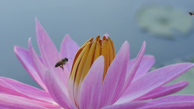Close-up Bee on Pink Water Lily in morning. (Slow motion) video