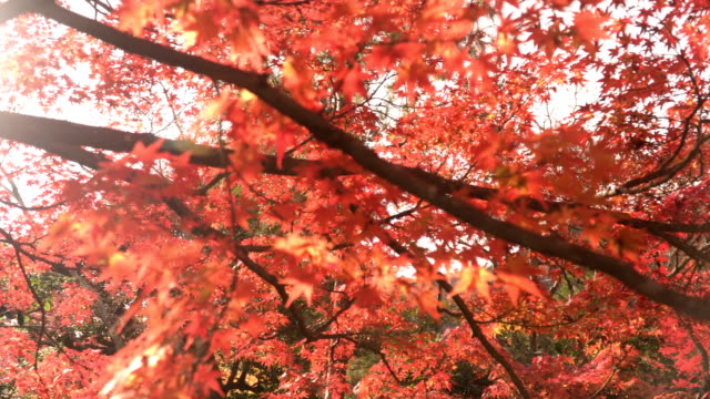 close-up belong to red maple branch in morning - maple leaf stock videos & royalty-free footage