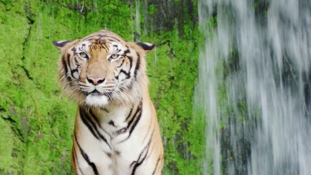 クローズ アップ。自然の滝でベンガルトラ。4 K 解像度 ビデオ