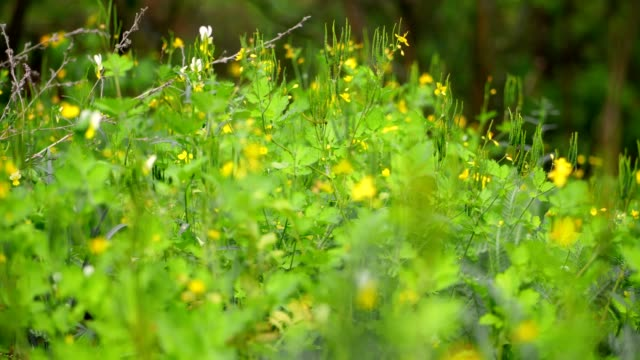 vídeos de stock e filmes b-roll de close-up, blooming celandine grass with lush green foliage and bright yellow flowers on a green grass background. spring in the forest. beautiful spring background - ambiente vegetal