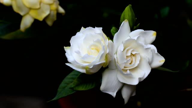 nahaufnahme blühende blumen und knospe von gardenia jasminoides oder gardenia oder cape jasmin - jasmin stock-videos und b-roll-filmmaterial