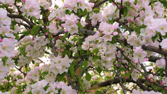 Closeup Blooming White And Pink Flowers Of The Apple Tree video