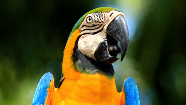 Close-up Blue and yellow Macaw video