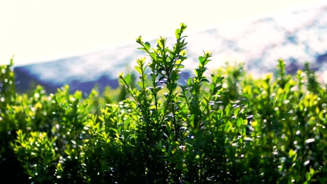 vidéos et rushes de gros plan, les feuilles de buis se dilavent dans le vent, au soleil. juteux buisson vert de buis. bois de pépinière à feuilles persistantes de culture à vendre sur la ferme arboricole. agriculture, serre - haie