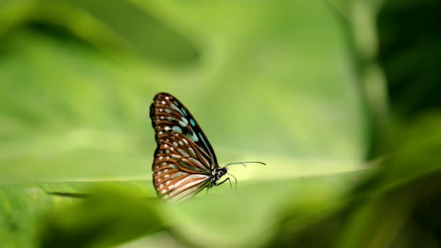 Close-up butterfly on green leaves, 4K. Big butterfly sitting on green leaves. butterfly insect stock videos & royalty-free footage