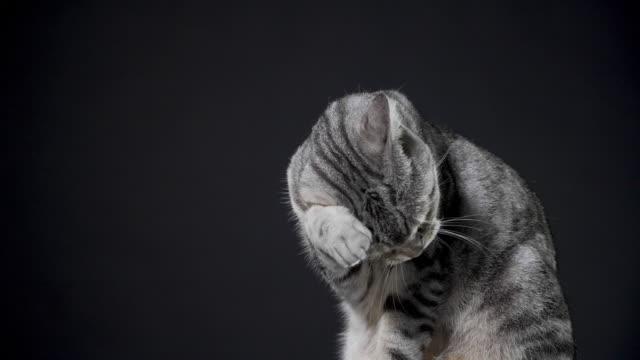 closeup cat licking  on black background - уход за поверхностью тела у животных стоковые видео и кадры b-roll