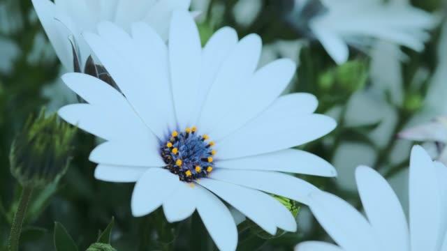 nahaufnahme kamille mit weißen blütenblättern und blauen und gelben röhrenförmigen blüten - nierenkelch stock-videos und b-roll-filmmaterial