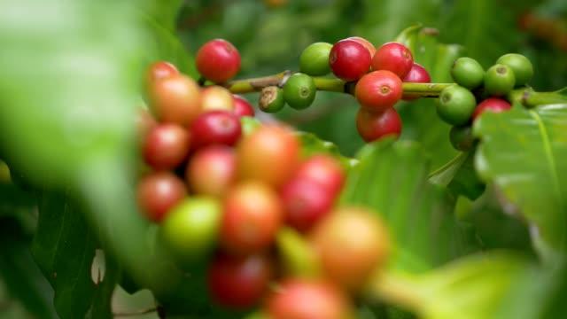 closeup kaffee-kirschen (bohnen) reifen auf einem ast coffea mit änderung fokus - rohe kaffeebohne stock-videos und b-roll-filmmaterial