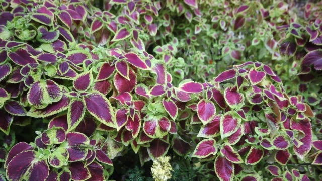 Close-up colorful coleus leaves background