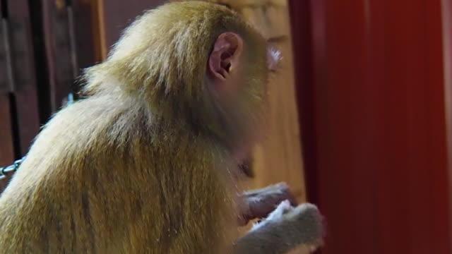 yakın çekim: yengeç yiyen meyve yeme makak maymunu - makak maymunu stok videoları ve detay görüntü çekimi