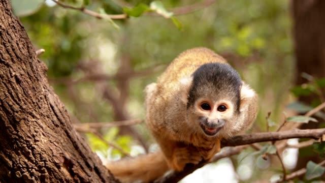 yakın çekim sevimli küçük maymun bir ağaç üzerinde kameraya bakarak ve gülümseyerek - makak maymunu stok videoları ve detay görüntü çekimi