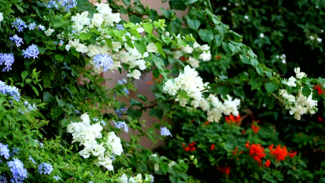 vídeos de stock e filmes b-roll de close-up. different types of flowers and different in color - white, blue, orange. against the background of juicy greenery. climbing bushes, plants in bloom - ivy building