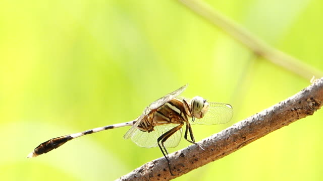 Closeup dragonfly rests on stick video