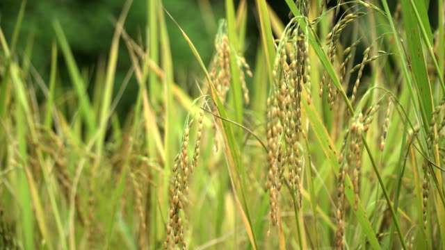 close-up: ear of rice video